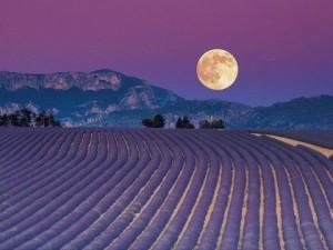 full-moon-lavender-2-300x225
