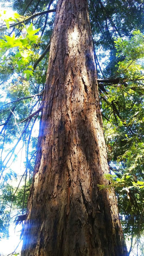 """""""WILD ANGEL WINGS"""" REDWOOD IN MAGICAL MALIBU FROM WISE OWL Silvia"""