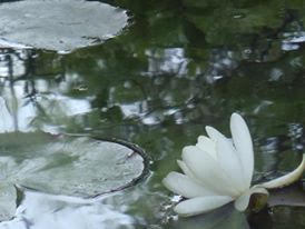 """WATER LILY THAT BLOOMED FOR THE FIRST TIME"" BY WISE OWL LINDA"