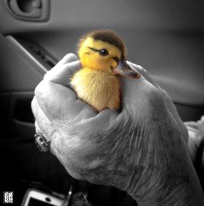 duck in hand  copy