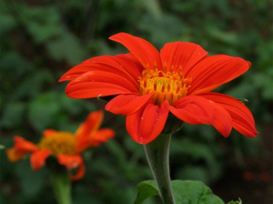 Red Torch Mexican Sunflower - rare color